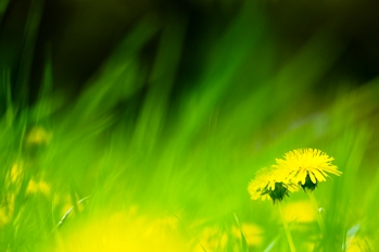 Dandelion Flowers | Freeimages