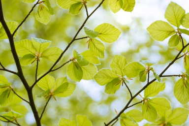 Spring Leafs of Beech Tree, shallow DOF